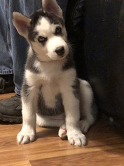 Siberian Husky Puppy For Sale in MOORE, SC, USA