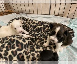 Maltichon-Yo-Chon Mix Puppy for sale in UNIONTOWN, OH, USA