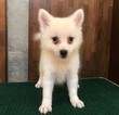 Japanese Spitz Puppy For Sale in HOLLYWOOD, CA, USA
