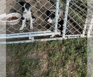 Border Collie Puppy for sale in INDIANOLA, IA, USA