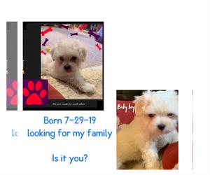 Maltese Puppy for Sale in VINTON, Virginia USA