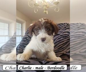 Bordoodle Puppy for sale in CLARKRANGE, TN, USA
