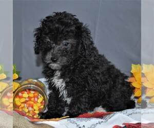 Cavapoo Puppy for sale in SUNBURY, PA, USA
