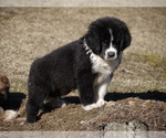 Small #1 Great Pyrenees-Tibetan Mastiff Mix