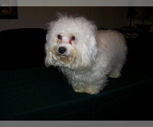 Coton de Tulear Puppy for sale in HORSE BRANCH, KY, USA