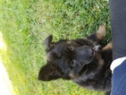 Malinois Puppy For Sale in NORTH VERNON, IN, USA