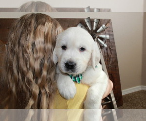 Golden Retriever Puppy for sale in NAMPA, ID, USA