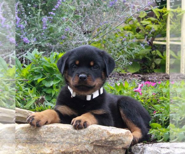 Medium Photo #3 Rottweiler Puppy For Sale in GAP, PA, USA