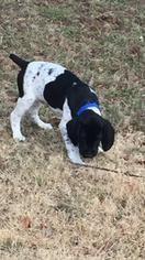German Shorthaired Pointer Puppy For Sale in DORR, MI