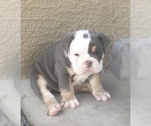 Olde English Bulldogge Puppy for sale in SANTA TERESA, NM, USA
