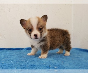 Pembroke Welsh Corgi Dog for Adoption in CLARK, Missouri USA