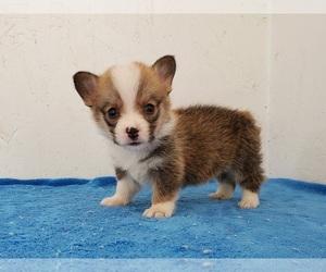 Pembroke Welsh Corgi Dog for Adoption in CLARK, Missouri USA