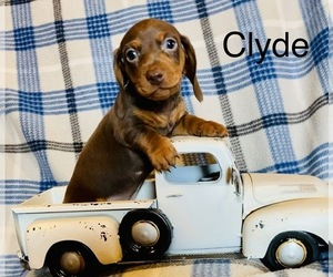 Dachshund Puppy for sale in CARROLLTON, IL, USA