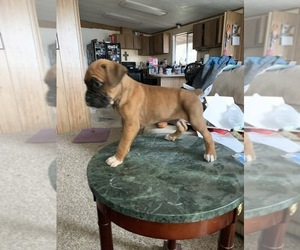 Boxer Puppy for Sale in SHELTON, Washington USA
