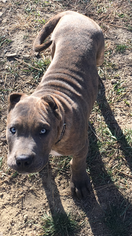 Presa Canario Puppy For Sale in DELIA, KS