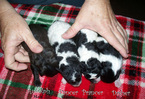 Maltipoo-Unknown Mix Puppy For Sale in LYNCHBURG, VA, USA