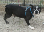 Boston Terrier Dog For Adoption in BENEDICT, KS, USA