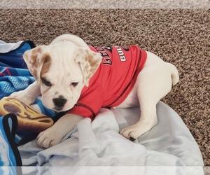English Bulldogge Puppy for sale in UNION CITY, GA, USA