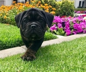 Olde English Bulldogge Puppy for Sale in POWAY, California USA