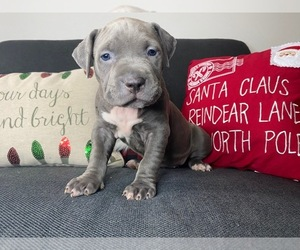 American Pit Bull Terrier Puppy for sale in PALM BCH GDNS, FL, USA