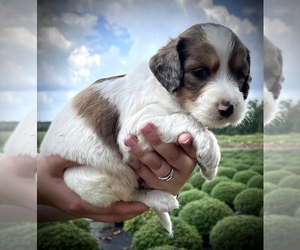 English Setter-Poodle (Standard) Mix Puppy for Sale in LIBERTY, Kentucky USA