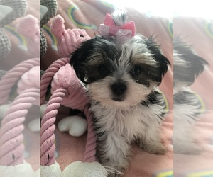Morkie Puppy for Sale in SARASOTA, Florida USA
