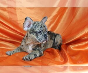 French Bulldog Puppy for sale in POUND RIDGE, NY, USA