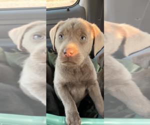 Labrador Retriever Puppy for sale in CEDAR VALE, KS, USA