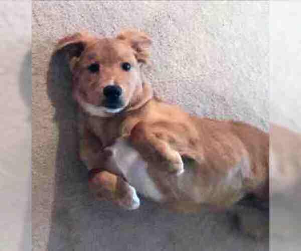 Border Collie-Golden Retriever Mix dog