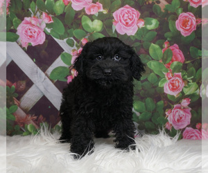 Schnoodle (Miniature) Puppy for Sale in WARSAW, Indiana USA