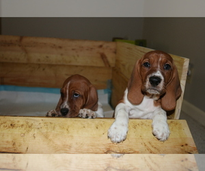 Basset Hound Puppy for Sale in INDIANAPOLIS, Indiana USA