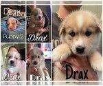 Puppy 0 Pomsky