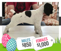 German Shorthaired Pointer Puppy For Sale in TROY, TX, USA