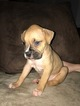 Boxer Puppy For Sale in GROTON, CT, USA