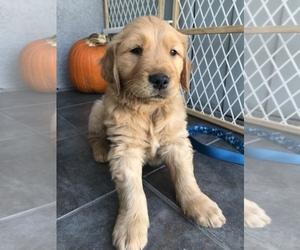 Golden Retriever Puppy for sale in LOMITA, CA, USA
