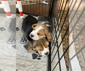 Beagle Puppy for sale in OKLAHOMA CITY, OK, USA