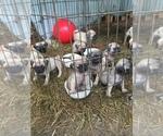 Pug Puppy For Sale in BROOKSVILLE, FL, USA