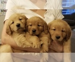 Golden Retriever Puppy For Sale in ARGYLE, TX, USA