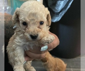 Maltese-Poodle (Standard) Mix Puppy for sale in NEW ORLEANS, LA, USA