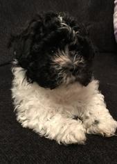 Zuchon Puppy For Sale in PUTNAM, CT, USA