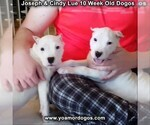 Small Photo #113 Dogo Argentino Puppy For Sale in PINEVILLE, MO, USA