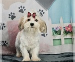Puppy 7 ShihPoo