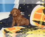 Goldendoodle Puppy For Sale in FRESNO, Ohio,