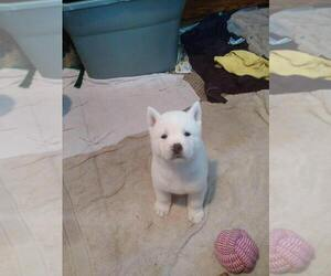 Akita Puppy for sale in SIOUX FALLS, SD, USA
