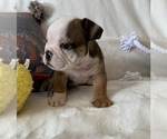 Small #13 English Bulldog