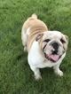 Bulldog Puppy For Sale in BUFFALO, MN, USA