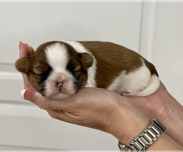 Medium Photo #9 Shih Tzu Puppy For Sale in SUGAR HILL, GA, USA