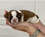 Small Photo #9 Shih Tzu Puppy For Sale in SUGAR HILL, GA, USA
