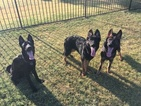 German Shepherd Dog Puppy For Sale in NORTH RICHLAND HILLS, TX