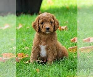 Goldendoodle Dog for Adoption in FREDERICKSBG, Ohio USA